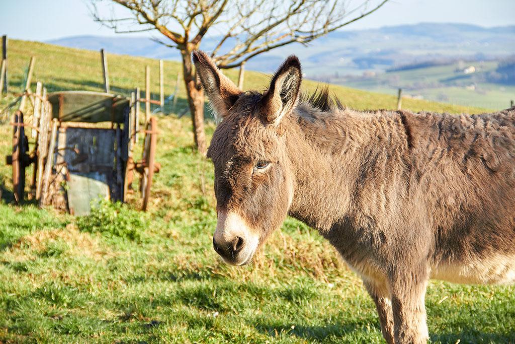 Recherche bénévoles pour promenade avec des ânes